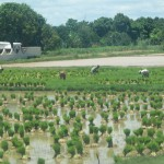 Women working in the rice fields