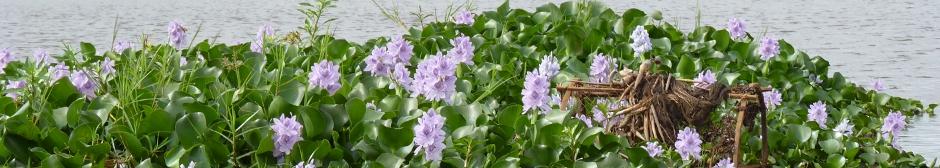 header_hyacinth_pur